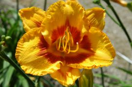 Hemerocallis `Fooled Me`.JPG
