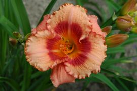 Hemerocallis `Daring Deception`.JPG