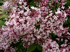 Syringa pubescens subsp. microphylla.JPG