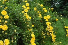 Rosa foetida `Persian Yellow`_2.JPG