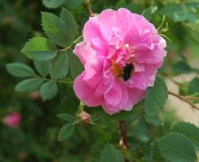 Rosa californica `Plena`_1.JPG