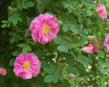 Rosa californica `Plena`_2.JPG