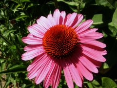 Echinacea purpurea `Summer Cloud`.jpg