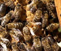 Naukowcy z UMCS opracowali lek dla pszczół!