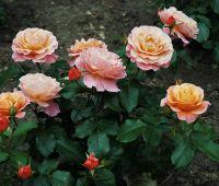 Niezwykłe róże na cześć Noblistki