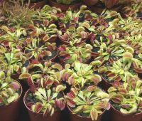 Kiermasz roślin owadożernych