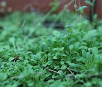 Uprawa roślin wysokoenergetycznych a produkcja czystego...