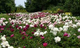 Ogród Botaniczny - Piwonie chińskie