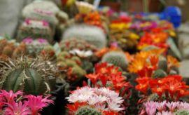 Wystawa kaktusów i innych sukulentów (2012)