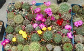 Wystawa kaktusów i innych sukulentów (2010)
