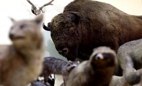 Muzeum Zoologiczne kończy 75 lat - wideo