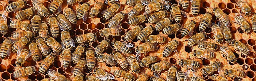 Honeybees and wild pollinators