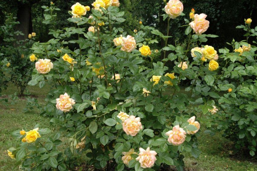 Rosarium -
