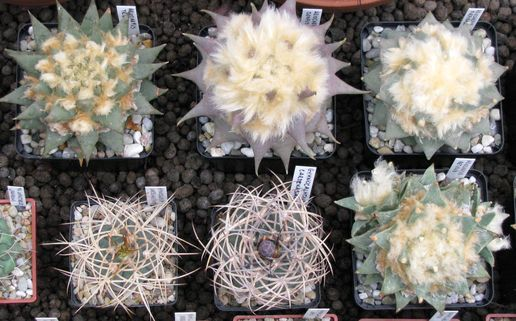 Wystawa kaktusów i innych sukulentów