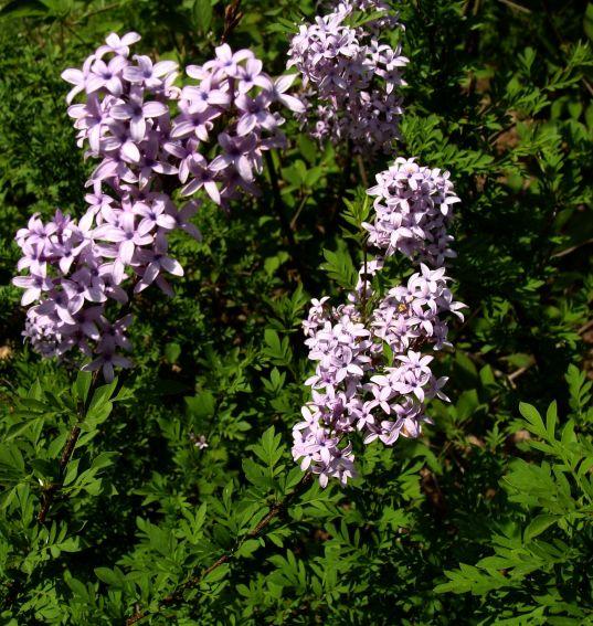 Ogród Botaniczny - Dział Dendrologii (Arboretum) - lilaki -