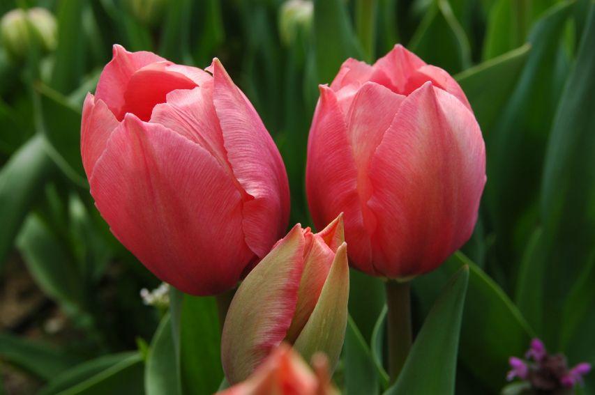 Ogród Botaniczny - tulipany -