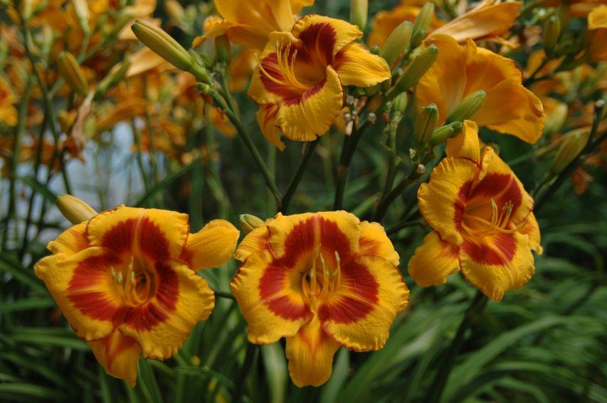 Ogród Botaniczny - liliowce -