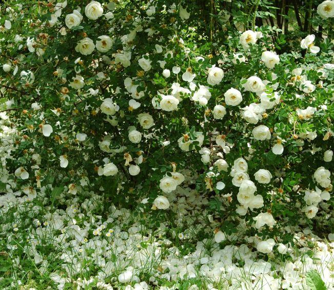 Ogród Botaniczny - Rosarium -