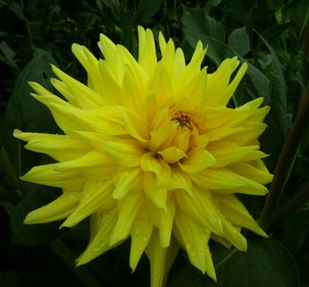 Ogród Botaniczny - dalie