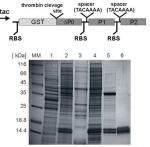 Ribosomal P protein complex from Plasmodium falciparum as...