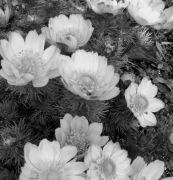 Adonis vernalis.jpg