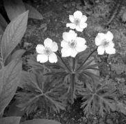Anemone narcissiflora.jpg