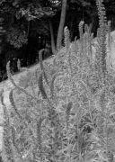 Echium russicum2.jpg