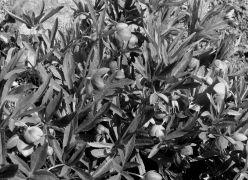 Helleborus purpurascens.JPG