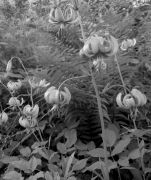 Lilium martagon.jpg