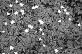 Anemone nemorosa.jpg