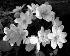 Hepatica nobilis fl.alba.JPG