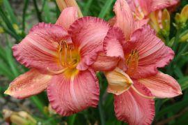 Kolekcja liliowców -