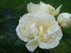 Rosa `Chopin`.JPG