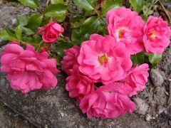 Rosa `Heidetraum`.JPG