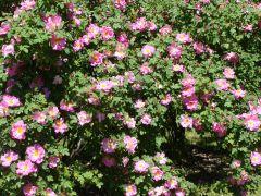 Rosa `Marguerite Hilling`.JPG