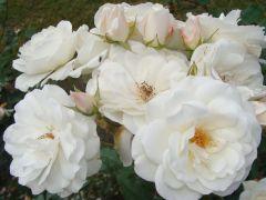 Rosa `Schneewittchen`.JPG