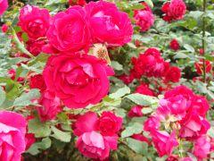 Rosa `Stadt Kiel`.JPG