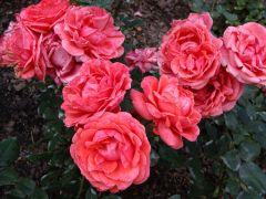 Rosa `Fee`..JPG