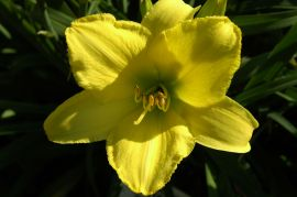 Hemerocallis `Irish Ice`.JPG