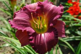 Hemerocallis `Super Purple`.JPG