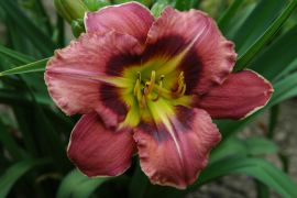 Hemerocallis `Always Afternoon`.JPG