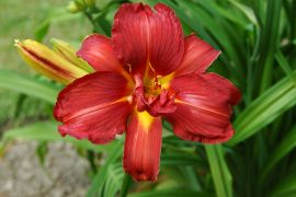 Hemerocallis `Double Firecracker`.JPG