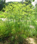 fenkuł, koper włoski (Foeniculum vulgare).jpg