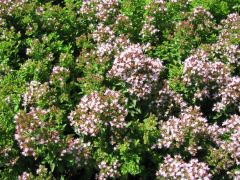 lebiodka pospolita (Origanum vulgare  `Compactum`).jpg