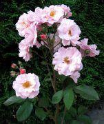 Rosa `Coral Satin`.jpg