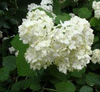 H. arborescens `Grandiflora`.JPG