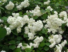 Hydrangea arborescens `Grandiflora`.JPG