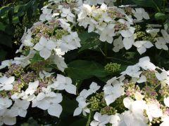 Hydrangea macrophylla `Coerulea`.JPG