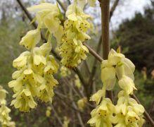 074219-corylopsis-sinensis.jpg