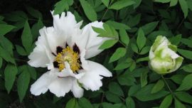 130608-paeonia-suffruticosa.jpg